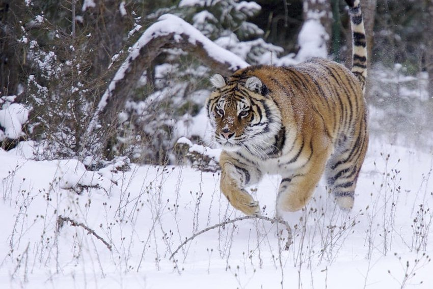 Siberian Tigers in Russia