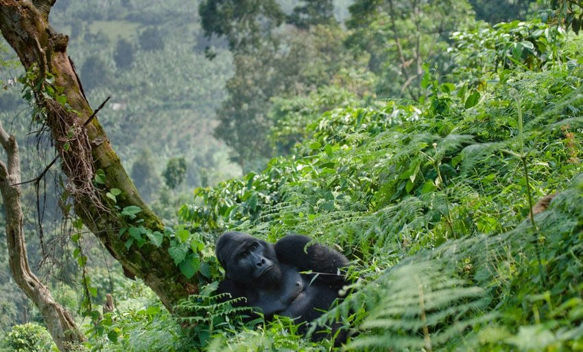 Majestic Mountain Gorillas in Uganda
