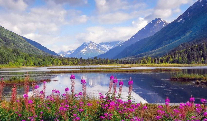 alaska-horizon-fireweed
