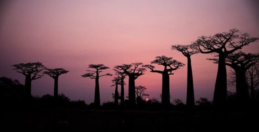 baobab-tree-madagascar