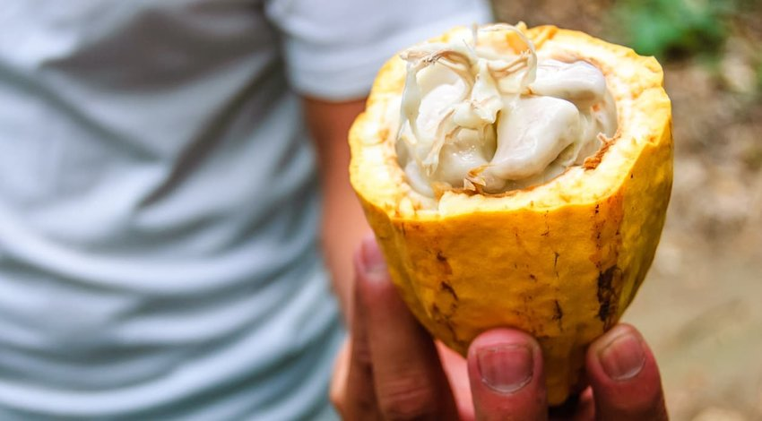 Cacao pod & cacao beans, Guatemala