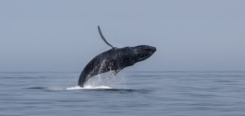 Breaching Humpback Whale Off Cape Cod
