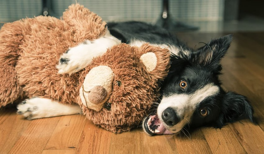 border collie hugging toy