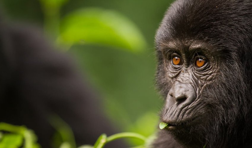 Close-up of a Young Mountain Gorilla