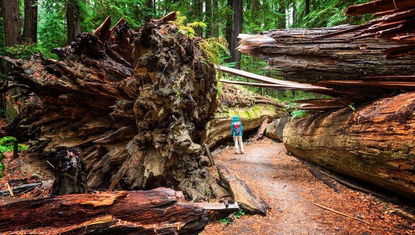 Dyerville Giant, Humboldt Redwoods State Park, CA
