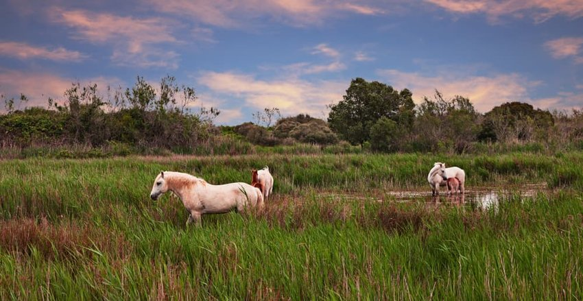 Camargue, France: landscape at sunset with wild white horses grazing in the wetlands.