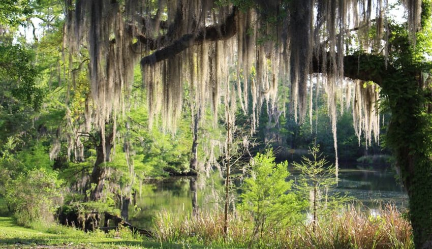 Mossy Oak Trees in New Orleans Area next to Lake Pontchartrain and Bayou Bonfuca