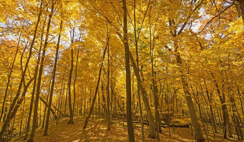 Beneath a Sea of Yellow in Backbone State Park in Iowa