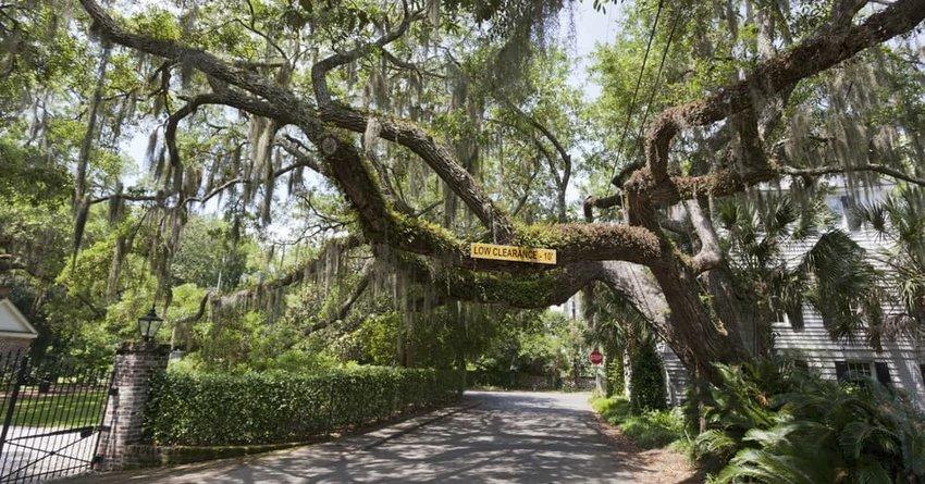 Moss covered oak limbs, Beaufort, South Carolina.