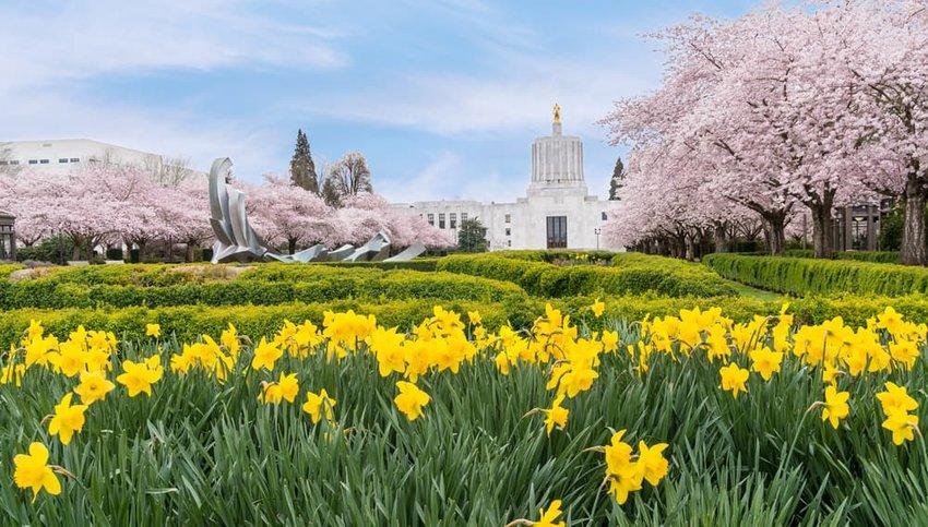 Salem Oregon Spring Daffodils at City Center Park