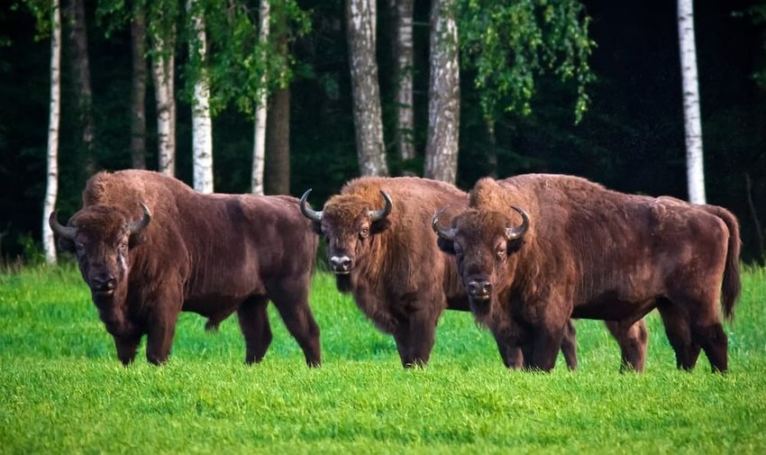 Three huge bisons grazing on green meadow. Belovezhskaya Pushcha National Park, Belarus.