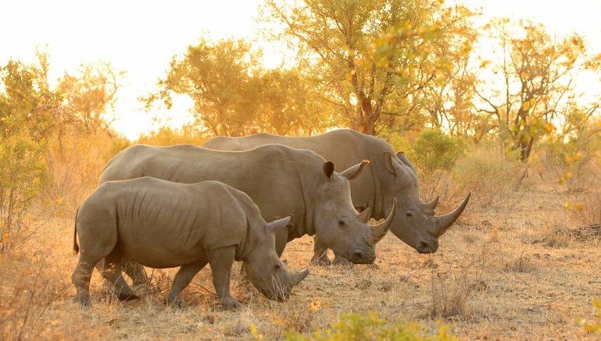 White-rhino-family
