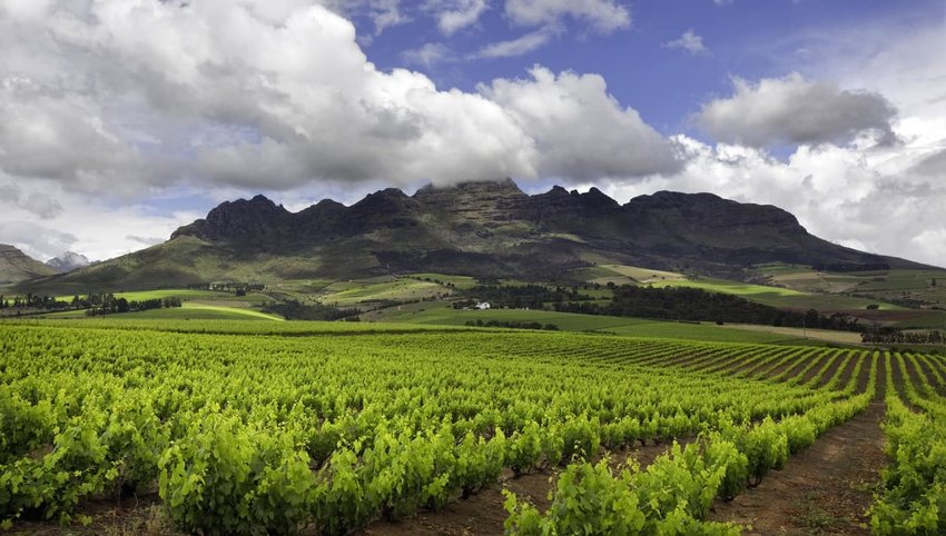 Vineyard in South Africa