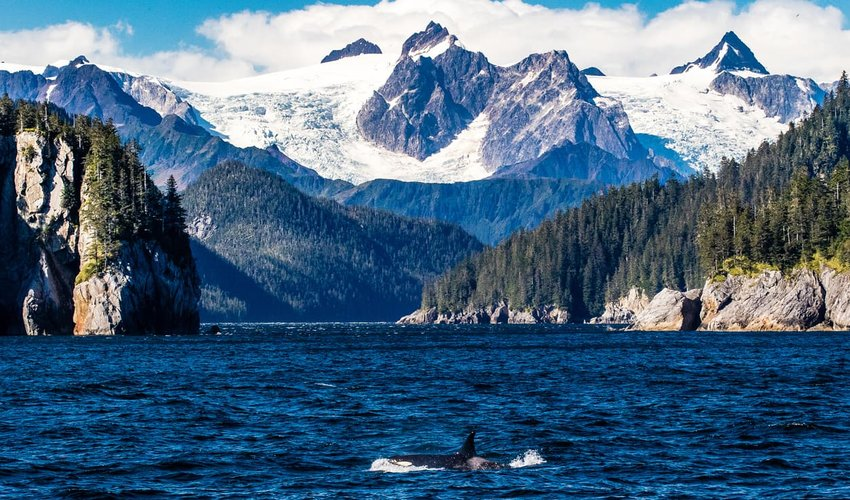 Orca porpoising by glaciers, Alaska