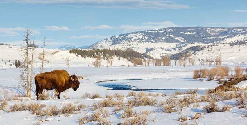 bison grazing in snow at Yellowstone National Park