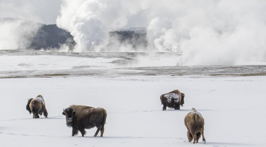 Bison herd traveling through snow with geysers and hot springs