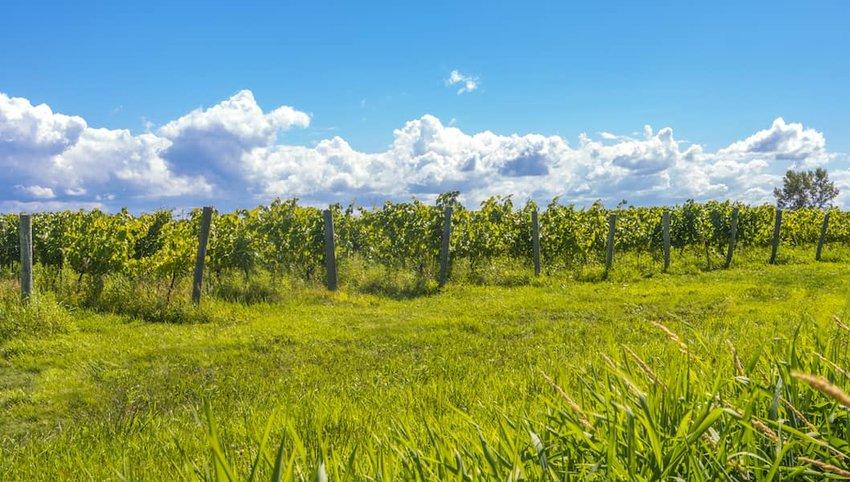 Nova-Scotia-vineyard