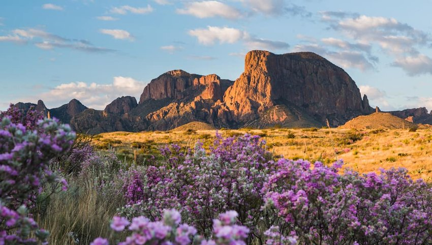 Photo of purple flowers and mountains in Big Bend National Park