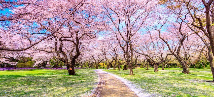 When and Where to See Japan's Cherry Blossoms This Year