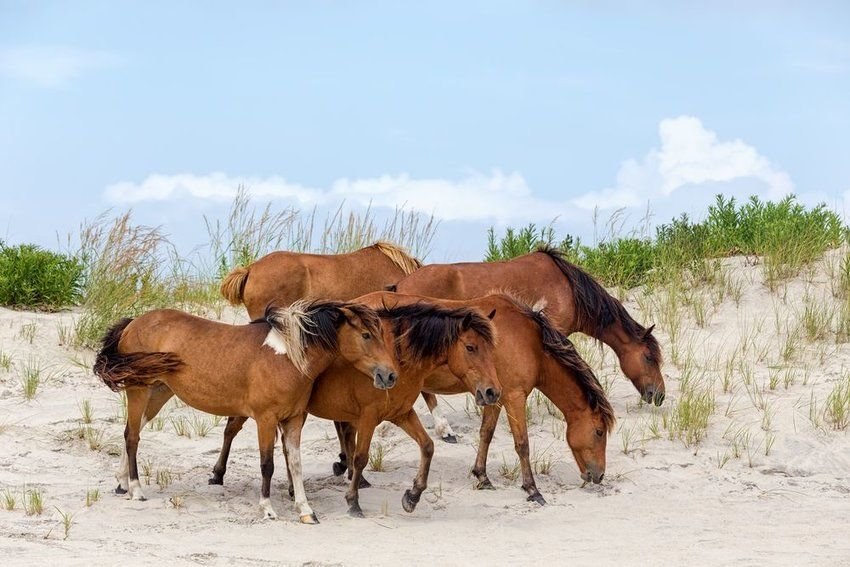 See Wild Ponies Swim from This Undiscovered National Seashore