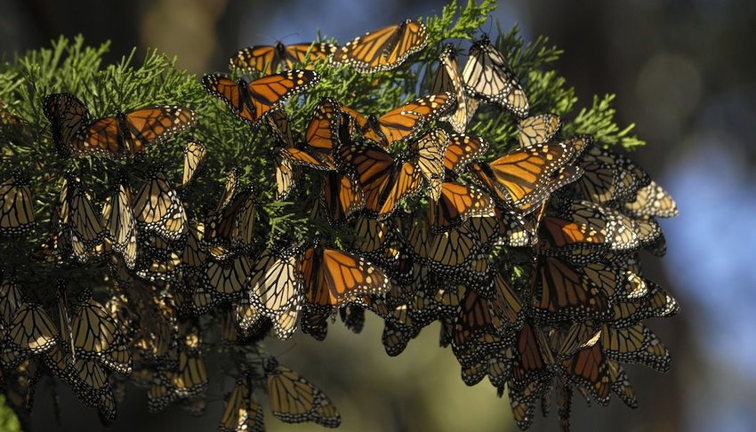 Close-up of Monarch Butterflies on a branch.