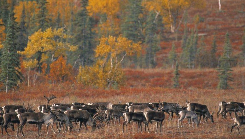 Migrating Caribou in the autumn, Alaska, USA
