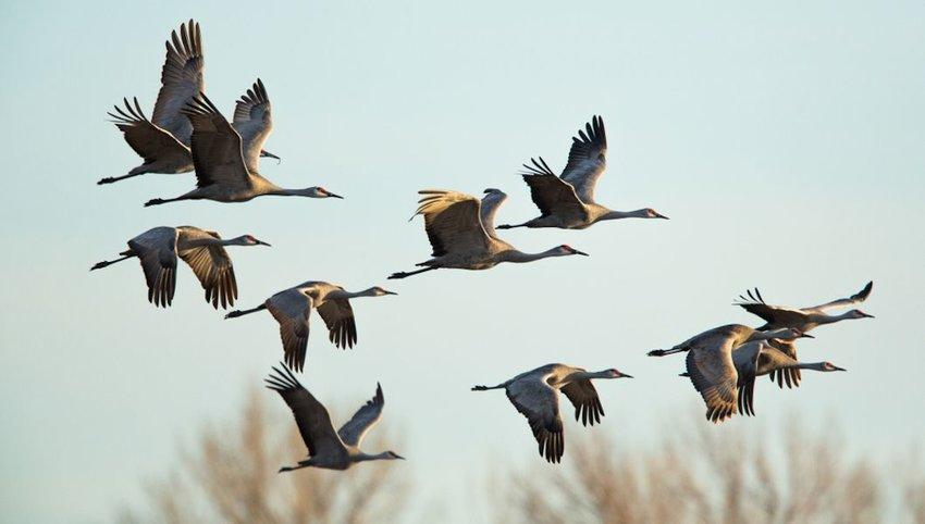 Sandhill Cranes in flight, Platte River Nebraska.