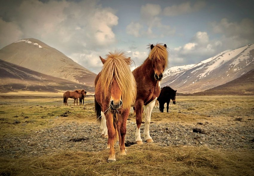 Wild horses in a field in Iceland