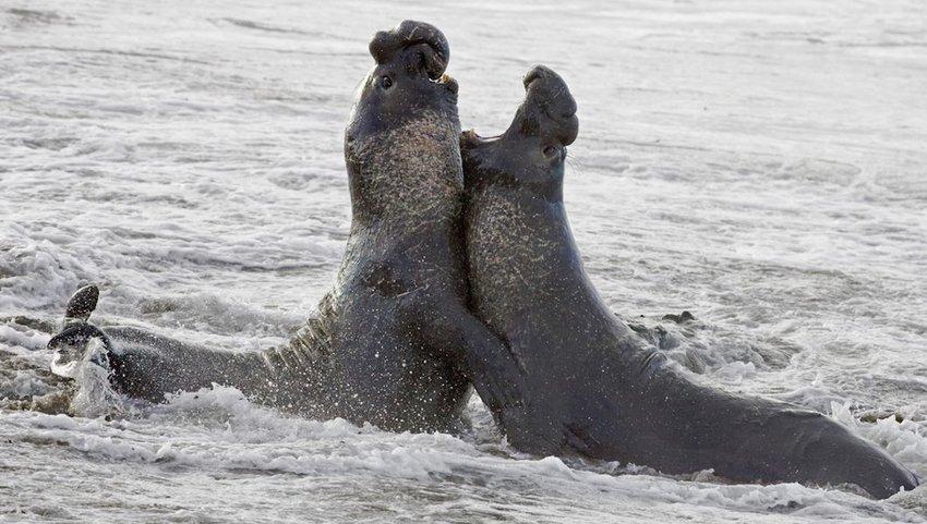Bull Elephant Seals fight for territory on San Simeon Beach