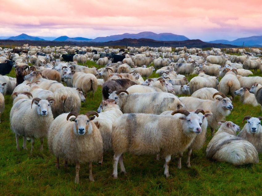 Large herd of sheep in the evening, Iceland