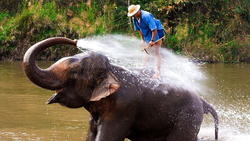 Elephant spraying water in a river