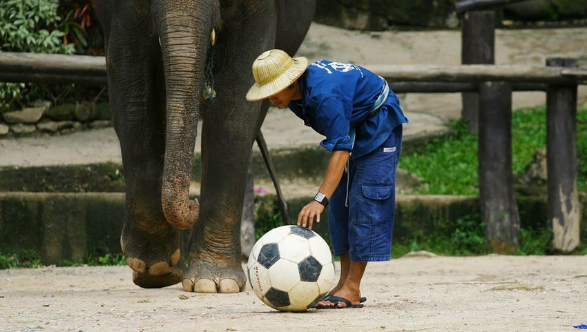 Elephant with handler and a soccer ball