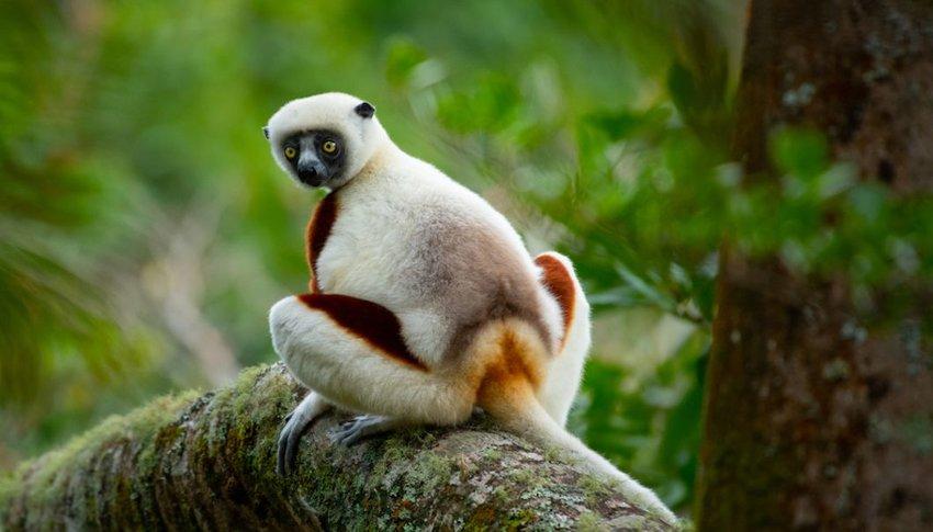 Lemur in Andasibe-Mantadia National Park