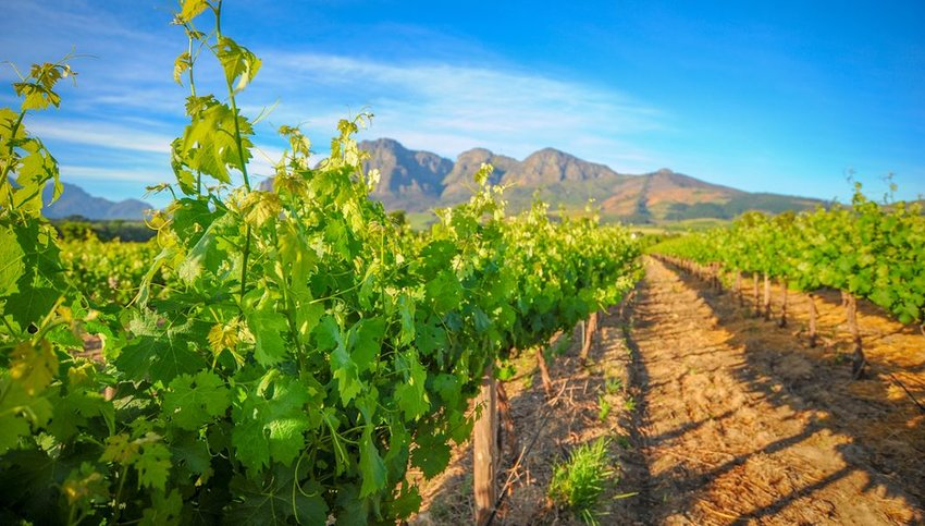 Green vineyards in South Africa