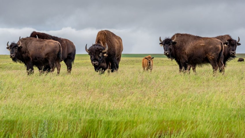 Herd of bison with a calf in a pasture, Saskatchewan, Canada