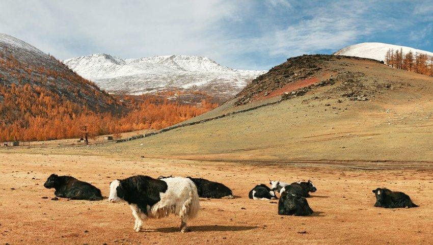 Autumn scene of yak on a mountain pasture, Altai Tavan Bogd National Park, Western Mongolia