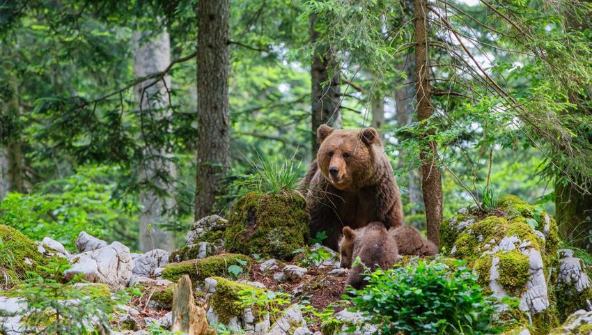 Wild brown bear with cubs in the forests of Slovenia