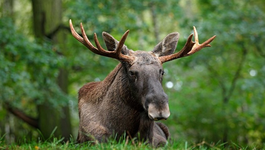 Close-up of a moose lying in grass under the trees, Sweden