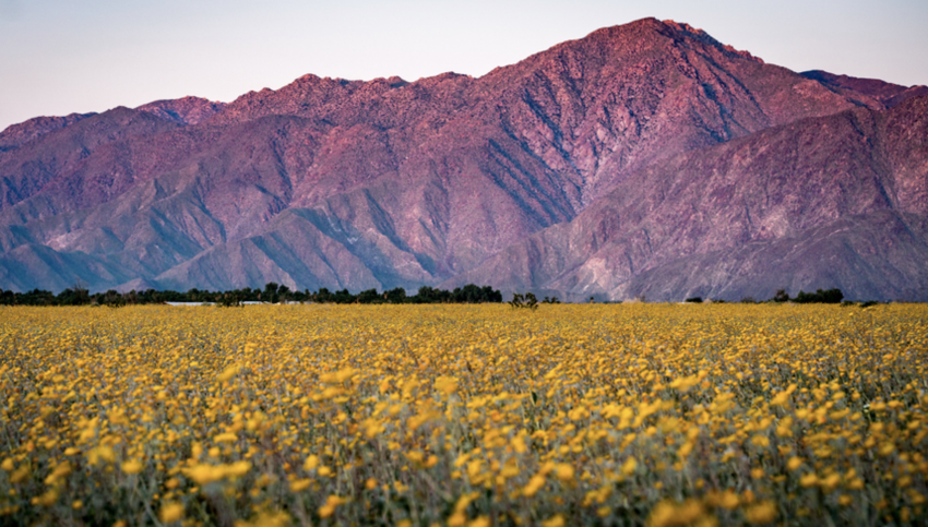 Mountains at sunset with field of flowers below in Anza-Borrego