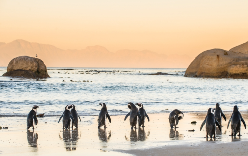 Line of penguins standing on the beach in Cape Town