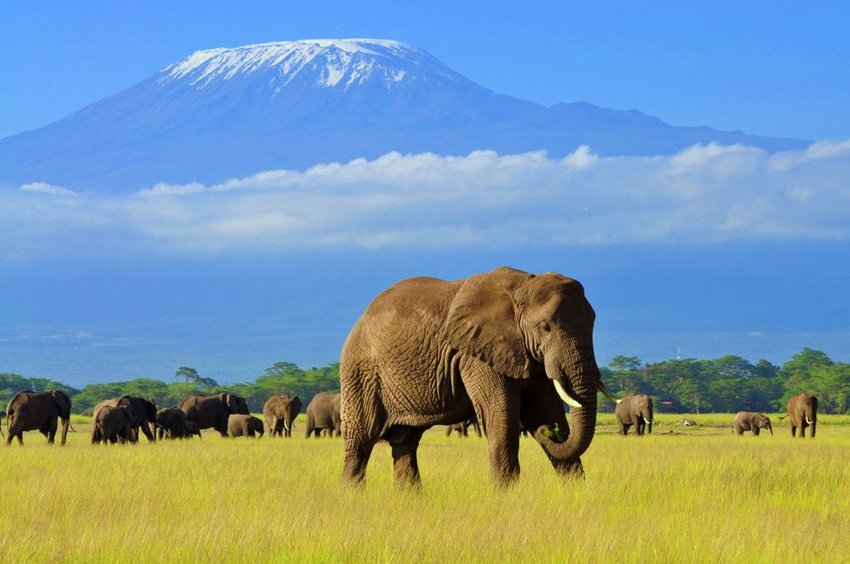 Elephant in Amboseli National Park with Mt. kilimanjaro in background