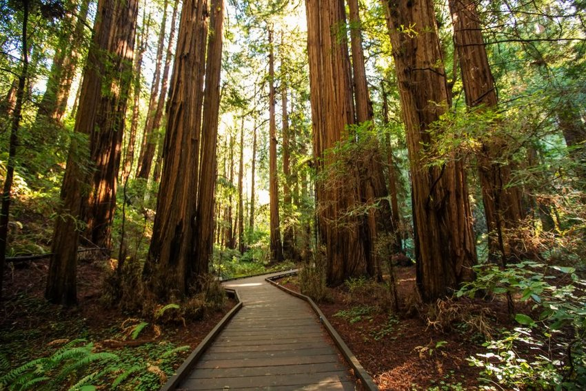 Trail through redwoods in Muir Woods National Monument near San Francisco