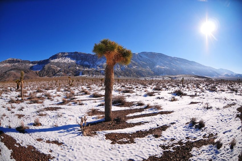 Joshua tree covered in snow with mountains in background