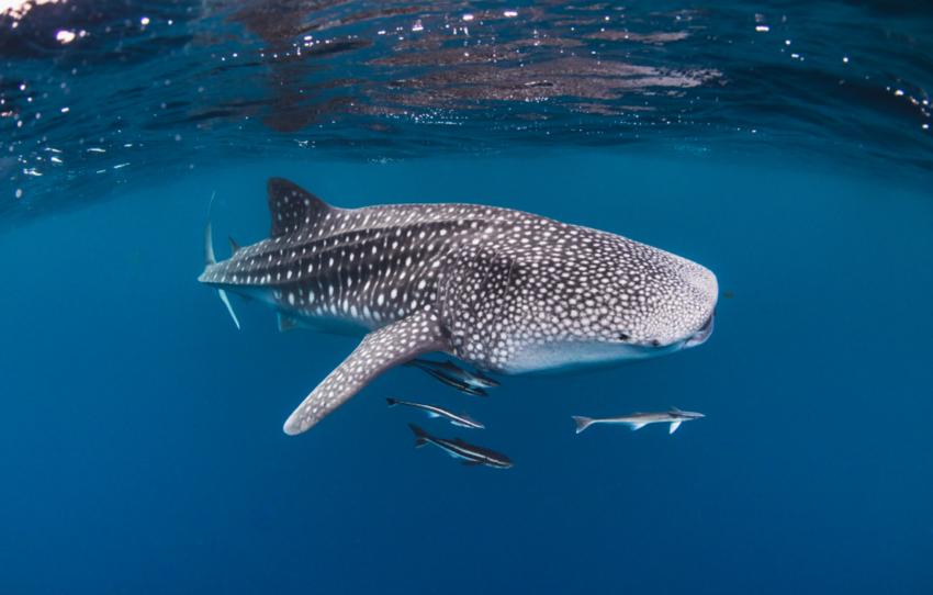Underwater view of whale shark swimming in open blue ocean