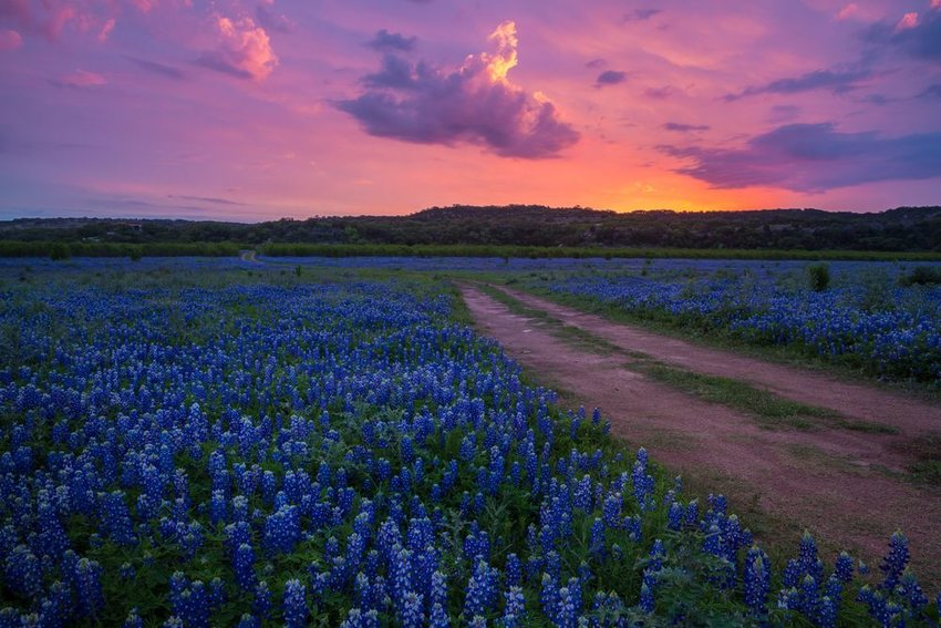 Dirt road going through fields of blue bonnets in Texas Hill Country at sunset