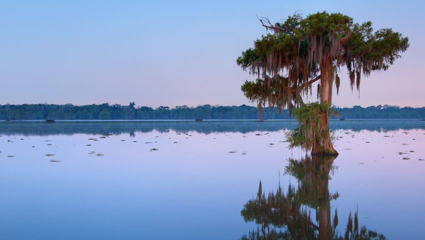 Tree in Lake Martin, Louisiana