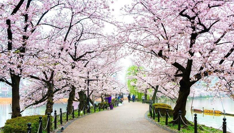 Walkway with Sakura trees on each side