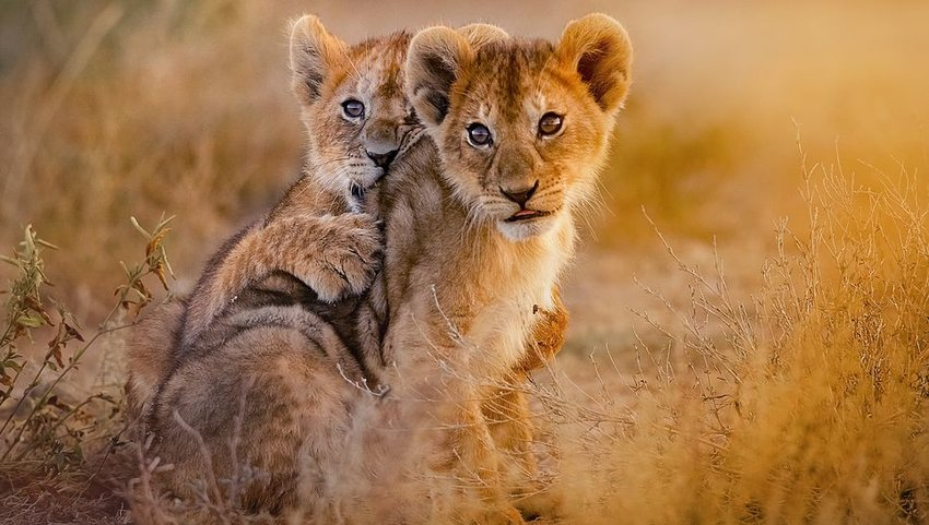 Two lion cubs playing in grass