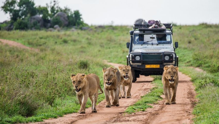 Pride of lions walking in front of a car full of tourists