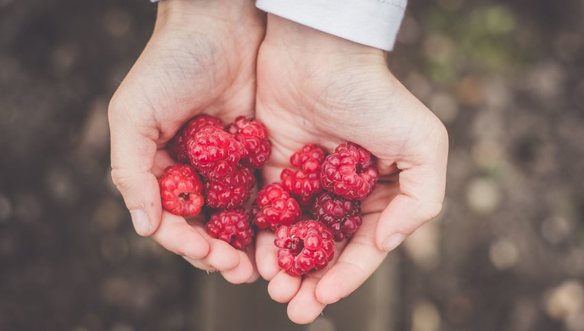 Person holding raspberries in hands